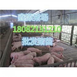 河南梅山母猪厂家价格
