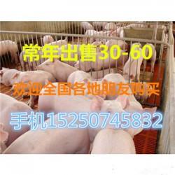 甘肃长白母猪多少钱一斤