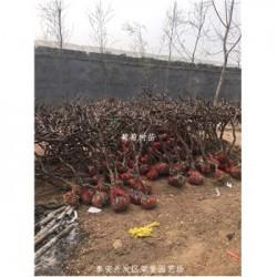 陕西榆林市葡萄树当年结果_
