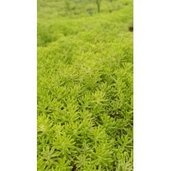 屋顶绿化新品种黄 金叶佛甲草盆栽 生命力极强见土就活庭院楼顶