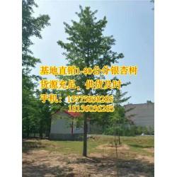 十万亩银杏(图)|30公分银杏树价格|银杏