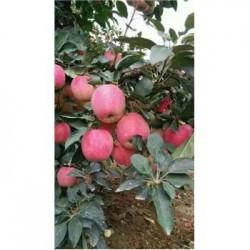今 日 今 日 全 国 纸袋红富士苹果供应基地