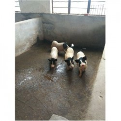 藏香猪养殖场浙江丽水市周边哪有卖小巴马香