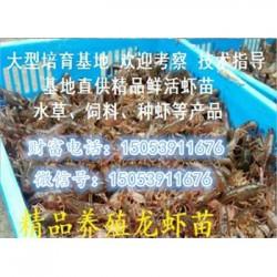社旗县哪里有品种好的虾苗卖—淡水龙虾养殖