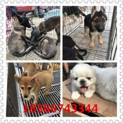 衢州血统卡斯罗护卫犬大型猎犬杜高犬