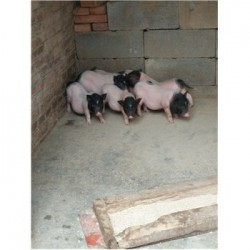 藏香猪养殖场湖南衡阳市周边哪里有巴马香猪