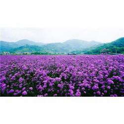 湖北省七叶一枝花种子