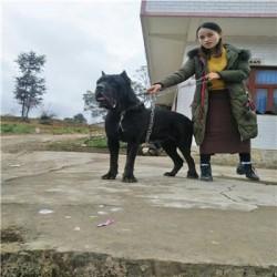 衢州杜高猎犬出售大骨架阿拉斯加幼犬