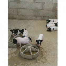 藏香猪养殖场江苏海门市周边小巴马香猪好养