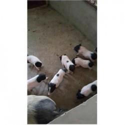 藏香猪养殖场广东梅州市周边哪里有巴马香猪