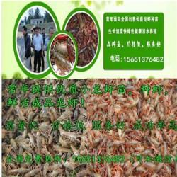 淄博龙虾种苗多少钱一斤   稻田养殖小龙虾