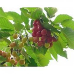 紫甘樱桃成品苗几年有产量