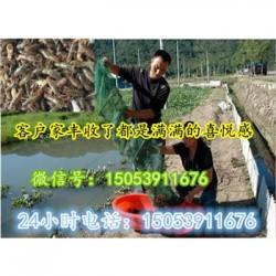 宝坻哪里有品种好的虾苗卖—淡水龙虾养殖技