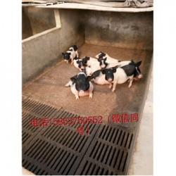 藏香猪养殖场广东汕头市周边什么地方有迷你