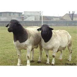 河北石家庄白山羊经济效益