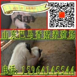 朔州巴马香猪养殖场双鸭山散养的巴马香猪多