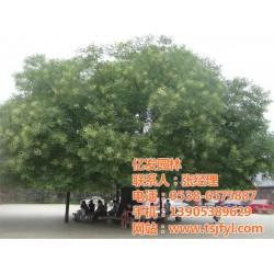 亿发园林(图)|国槐树苗 速生|西藏国槐树苗