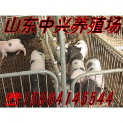 宝鸡巴马香猪养殖场鄂尔多斯巴马香猪商品猪