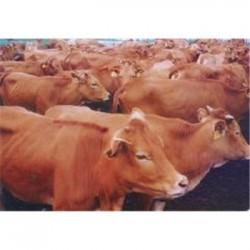 新疆黄牛养殖场