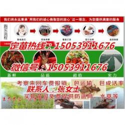 融安县哪里有品种好的虾苗卖—淡水龙虾养殖