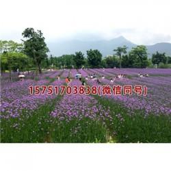 结缕草种子丨江苏春百宝种业
