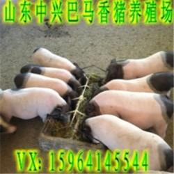 盘锦巴马香猪养殖场兴安盟巴马香猪商品猪价